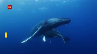 Inteligencia artificial podría ser la salvación de las ballenas
