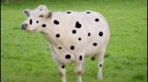 En este episodio:  1 – Tinta para vacas robadas. 2 – Vacas que juegan Fútbol.