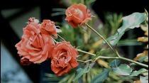 ¿Cómo cultivar rosas?