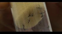 Planifican desarrollar vacunas contra el zika