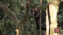 Yaguarundi atropellado será devuelto a su hábitat natural