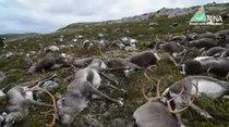 (Video) Un rayo mata más de 300 renos en Noruega