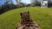 GoPro capta la velocidad de un cheetah