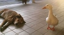 Un pato anima a perro en depresión