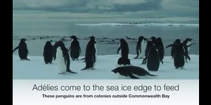Iceberg diezma la población de los pingüinos Adelaida