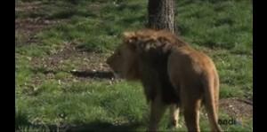 Nace cachorro de león africano en Nueva York