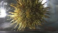 ¿Estos erizos de mar combaten el coronavirus?