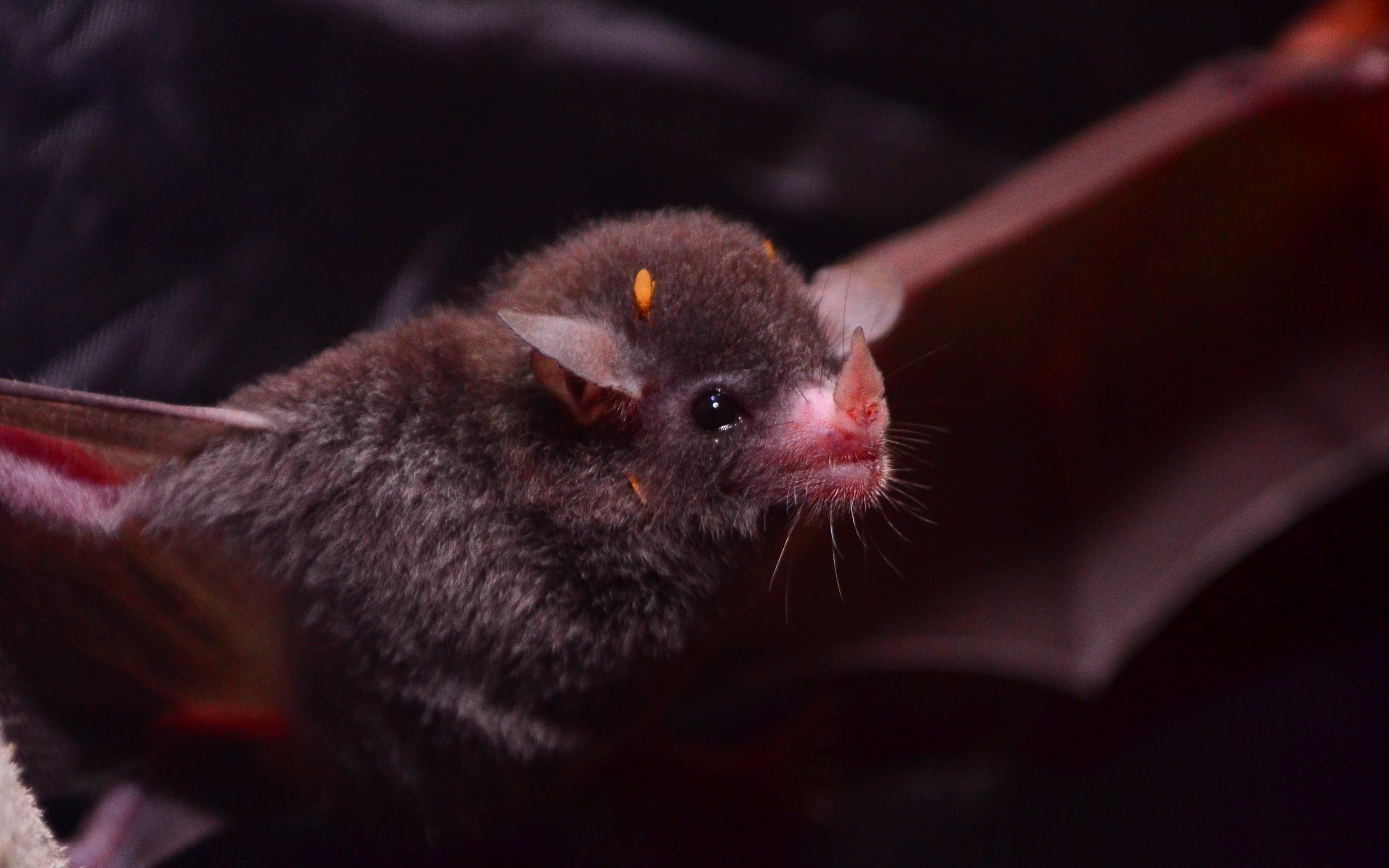 13 especies de murciélagos que habitan en Puerto Rico