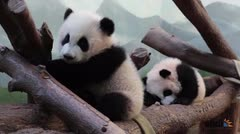 Pandas gemelas causan sensación en Atlanta