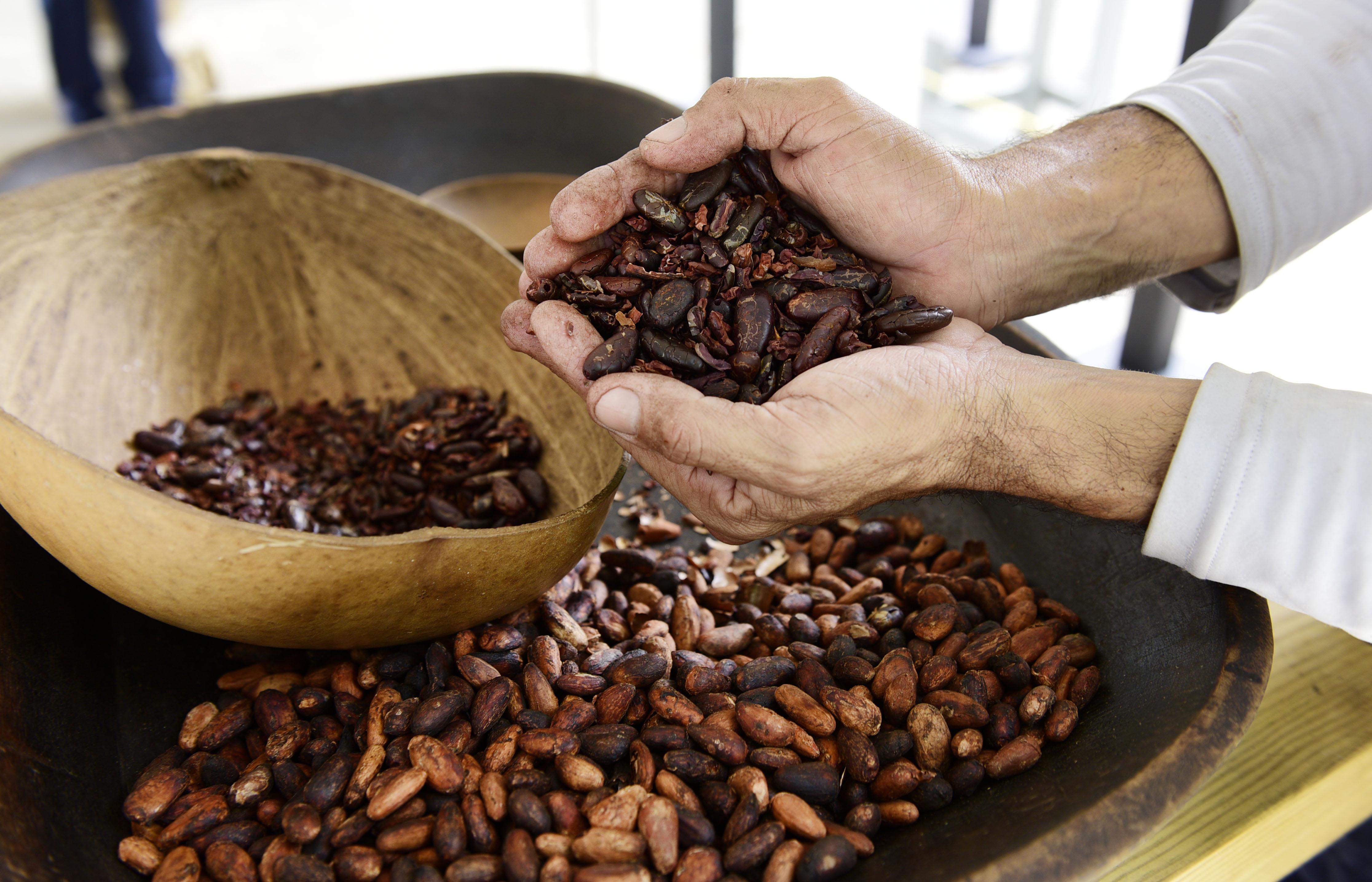 Buscan descubrir el cacao