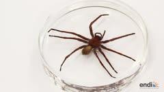 Descubren una espeluznante especie de araña