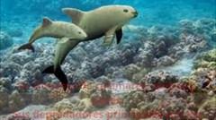 En peligro de extinción la vaquita marina
