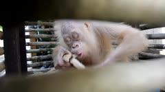 Buscan nombre para un orangután albino