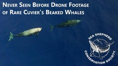 La rara ballena zifio de Cuvier