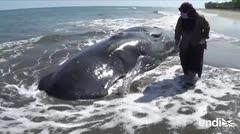 Cuatro ballenas murieron en playa de Indonesia