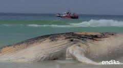 Aparece ballena muerta en playa de Ipanema