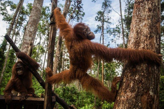 La impresionante curiosidad de los orangutanes que viven en cautiverio