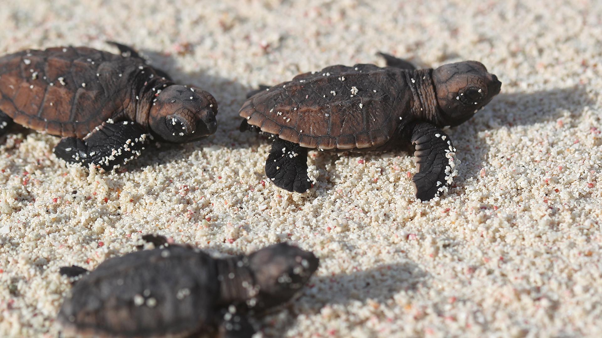La magnífica resistencia de las tortugas marinas luego de nacer
