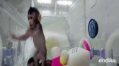 Nacen primeros monos clonados con la técnica de la oveja Dolly