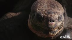 Las gigantescas tortugas que pueden vivir 150 años y sobrevivieron a los piratas