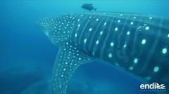 Los misterios del tiburón ballena