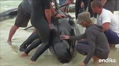 Más de 150 ballenas se quedan varadas en una playa de Australia