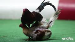¿Deben continuar las peleas de gallo en el país?