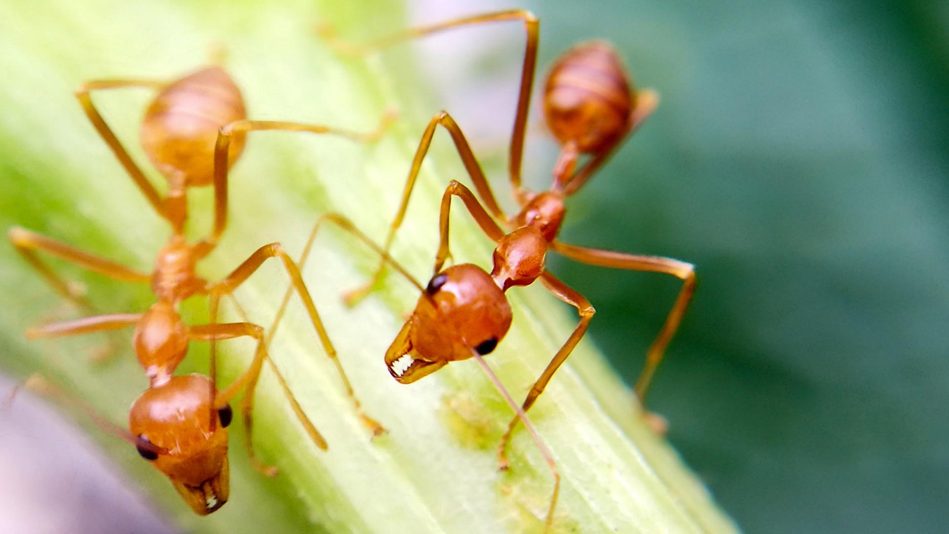 ¿Cómo hacen las hormigas para evitar los tapones?