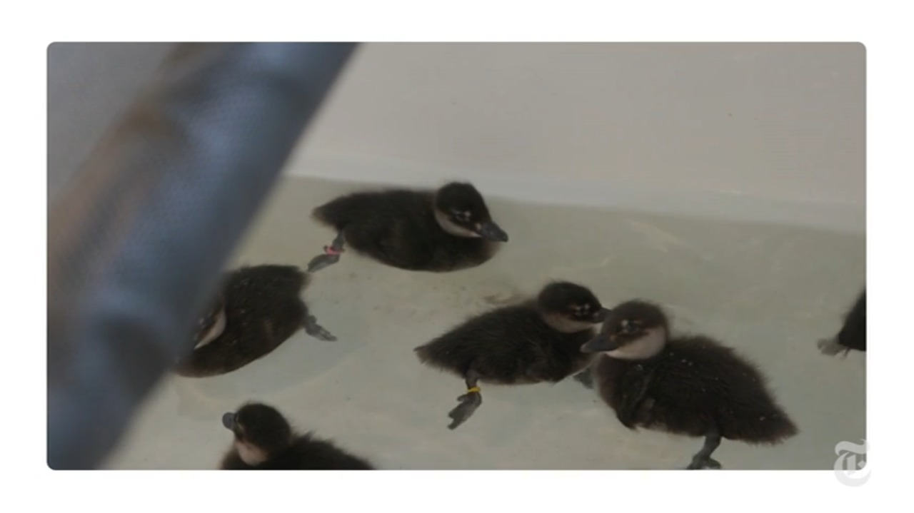 ¿Los patos pueden escuchar debajo del agua?