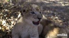 Los primeros leones concebidos por inseminación artificial
