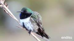 Deslumbra el hallazgo de una nueva especie de colibrí