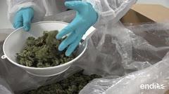 Los desafíos de salud y seguridad en la legalización del cannabis en Canadá