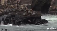 Los lobos marinos: una atracción cercana a la capital de Perú