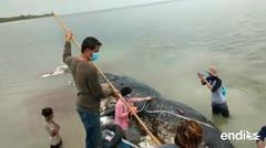 Perturbador hallazgo en la barriga de una ballena