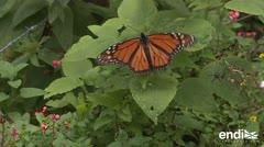 La mariposa monarca ignora las fronteras para emigrar en invierno