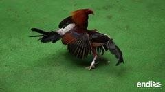Ricardo Rosselló critica que Estados Unidos prohíba las peleas de gallo en la isla