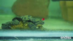 Esta rana en peligro de extinción se reproduciría en San Valentín