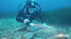 Un enorme molusco muere por una razón muy pequeña
