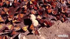 Aumenta en 144% la población de la mariposa monarca en México