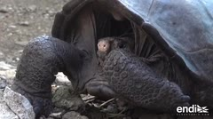 Hallan una tortuga gigante que se consideraba extinta en Ecuador