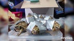 Salvan 1,500 tortugas que fueron pegadas dentro de maletas