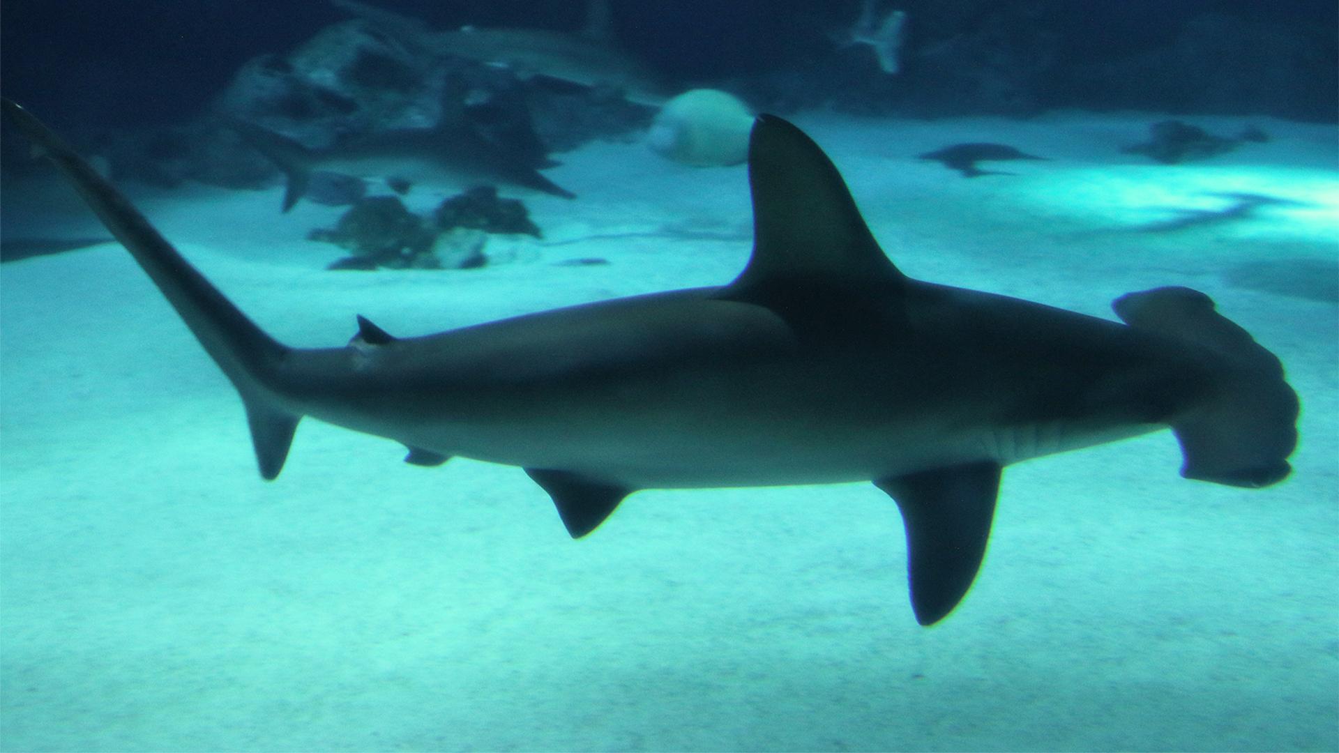 Descubren un refugio natural de tiburones martillo