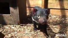 Este animal tiene un cáncer contagioso, pero sobrevive de forma asombrosa