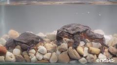 Cupido hace su tarea entre las ranas Romeo y Julieta en Bolivia
