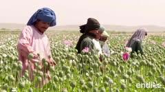 Florecen las amapolas en el medio del conflicto