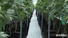 Lista para despegar la primera exportación de marihuana medicinal uruguaya