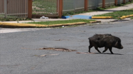 Sobrepoblación de cerdos vietnamitas en Cantera, el Caño Martín Peña y comunidades aledañas