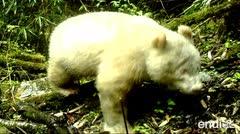 Avistan un raro ejemplar de oso panda albino