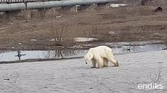 Encuentran hambriento y desorientado a un oso polar en una ciudad rusa