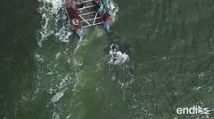 Conmovedora liberación de ocho ballenas en Rusia